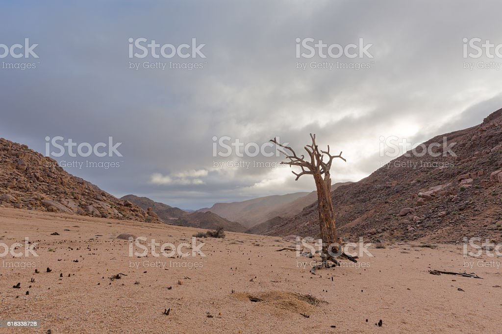 Dead Quiver Tree stock photo