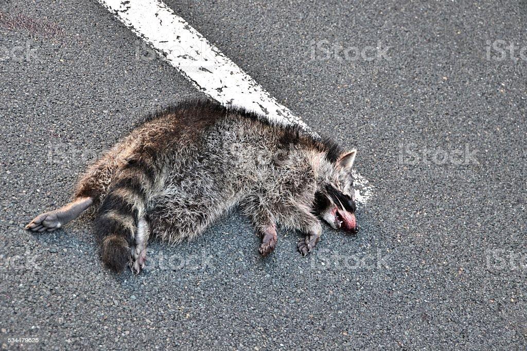 dead raccoon stock photo