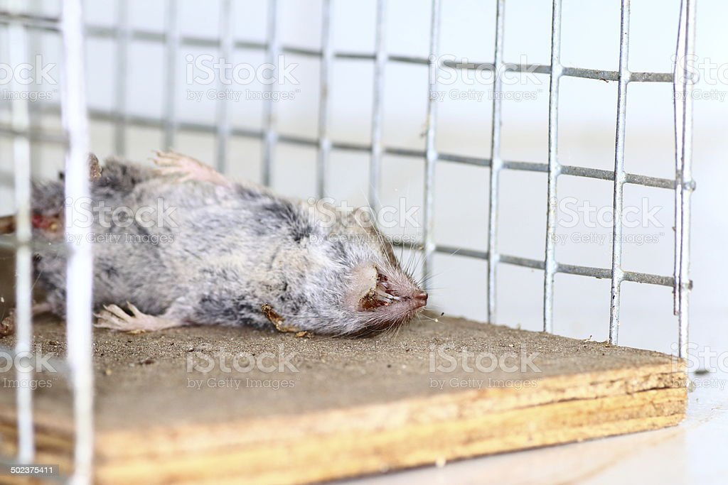 Dead rat animal trapped stock photo