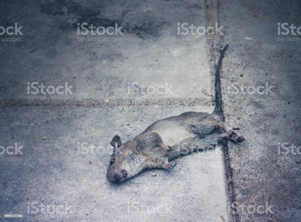 Dead rat death on the sidewalk stock photo