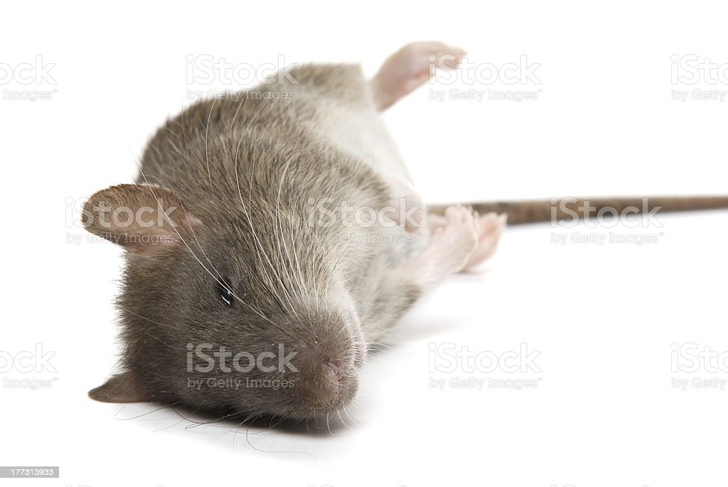 Dead rat isolated on a white background. stock photo