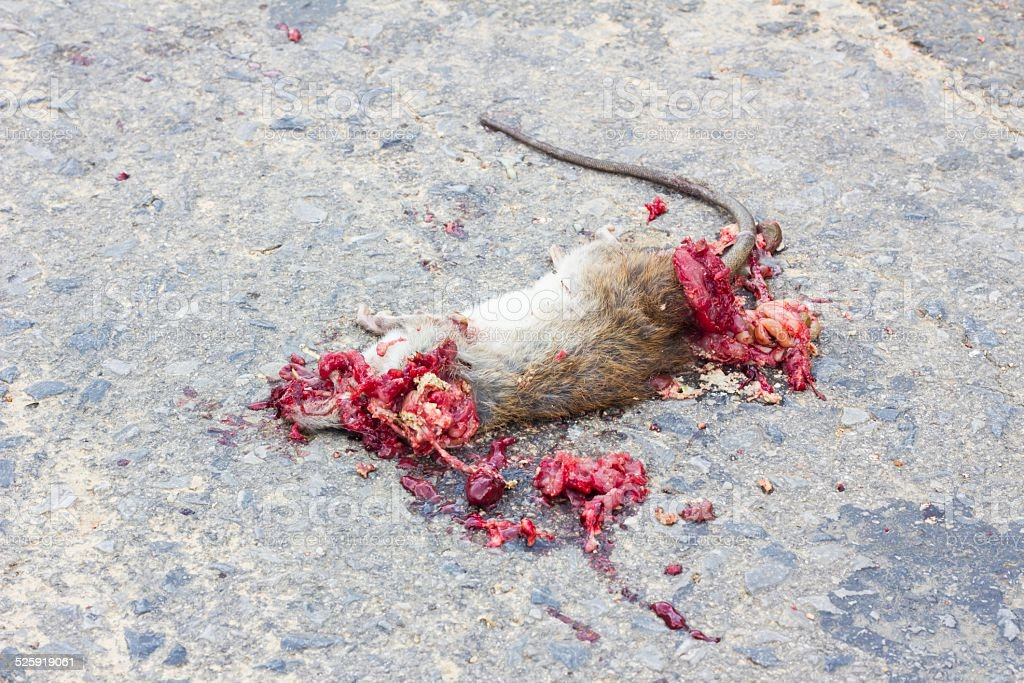Dead rat on road stock photo