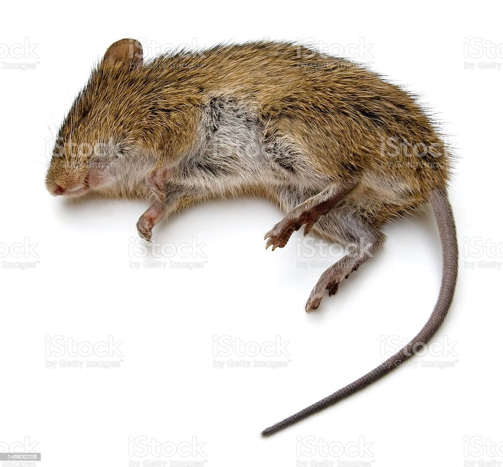 Dead Rat stock photo