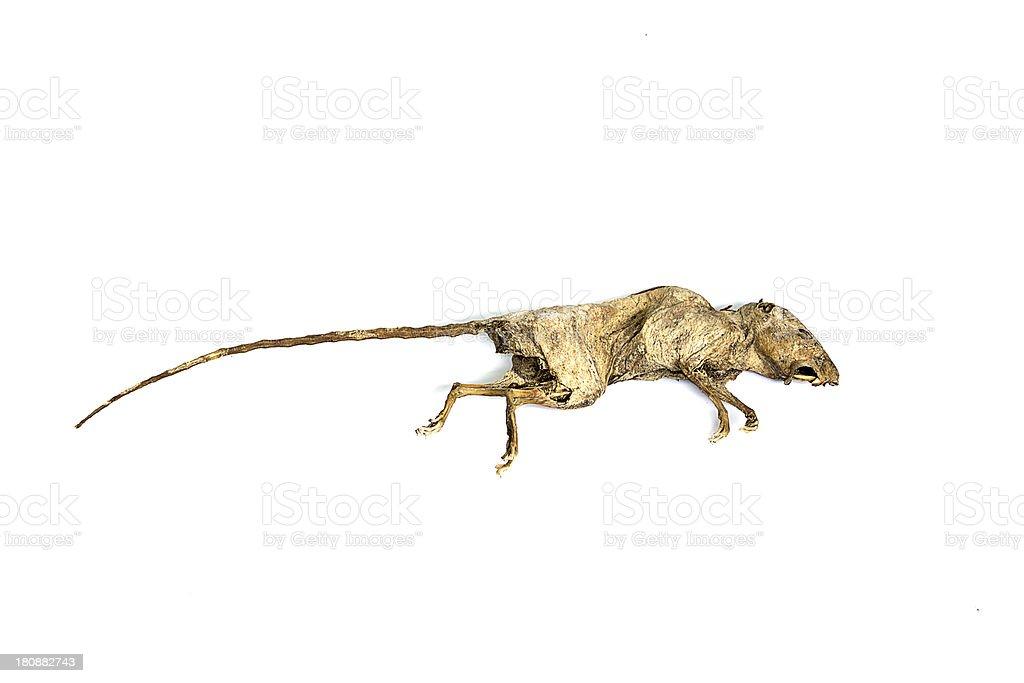 Dead rat royalty-free stock photo