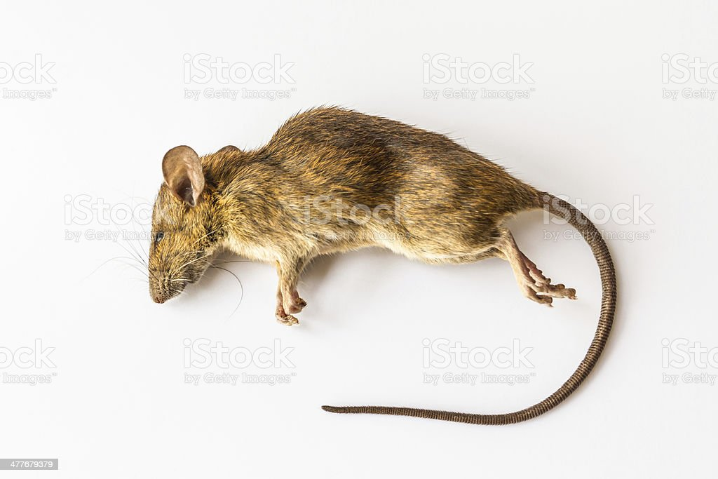 Dead rat. stock photo