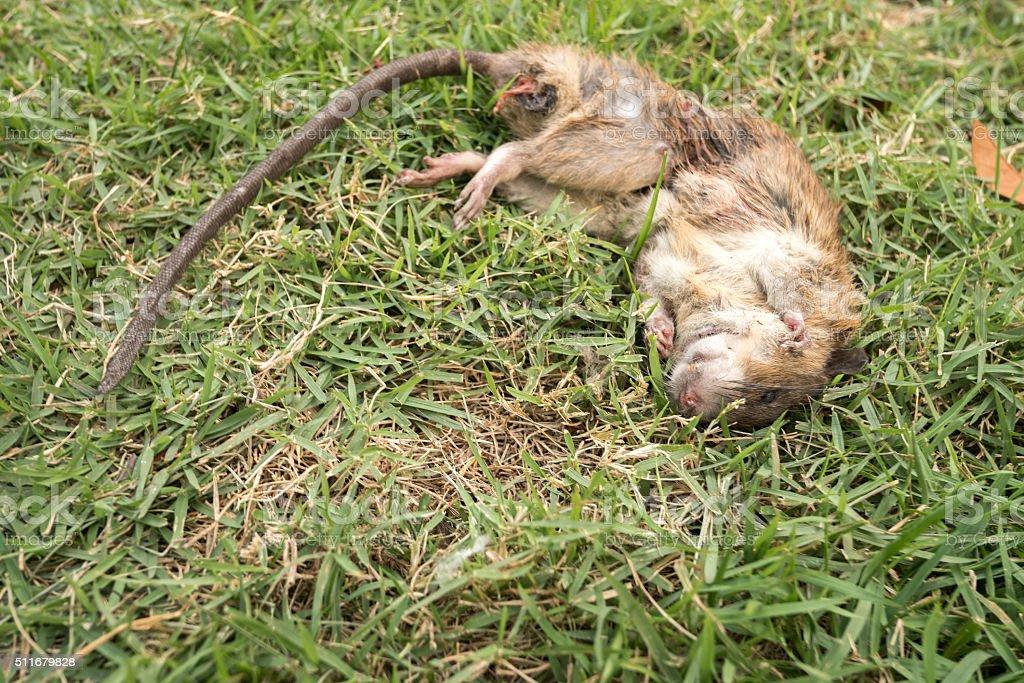 dead rat stock photo