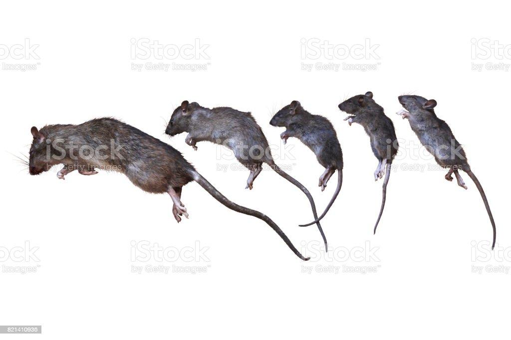 Dead Rats stock photo