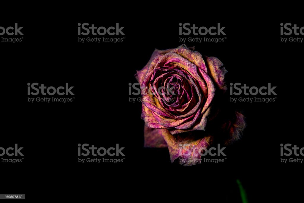Dead red rose on black background stock photo