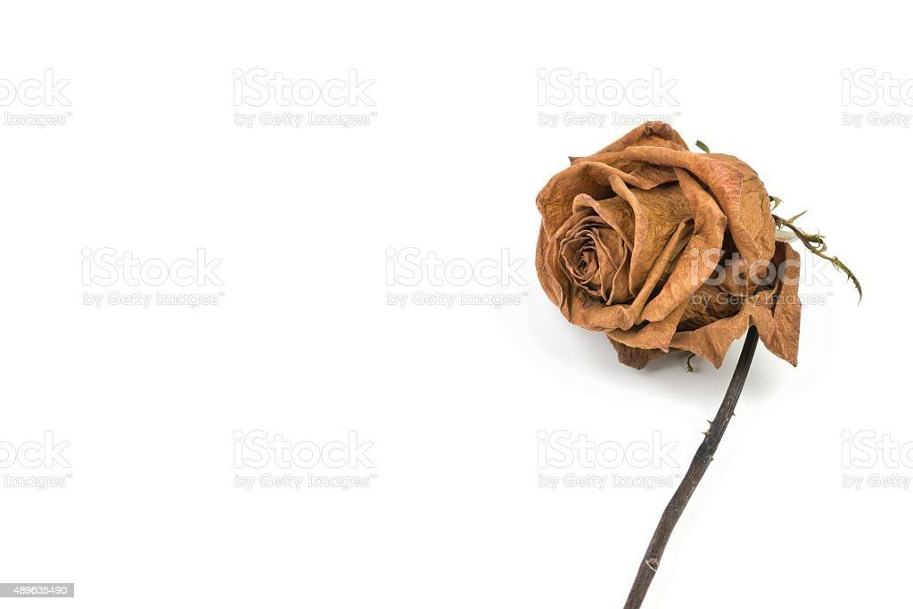 Dead Red Rose stock photo