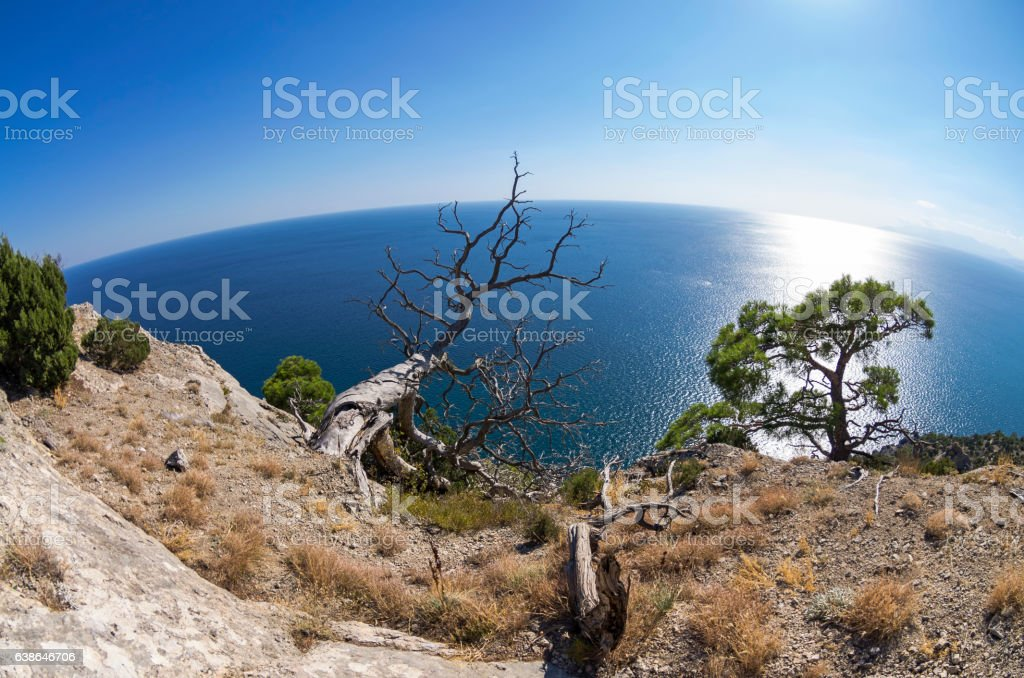 Dead relict pine on the background of the sea. stock photo