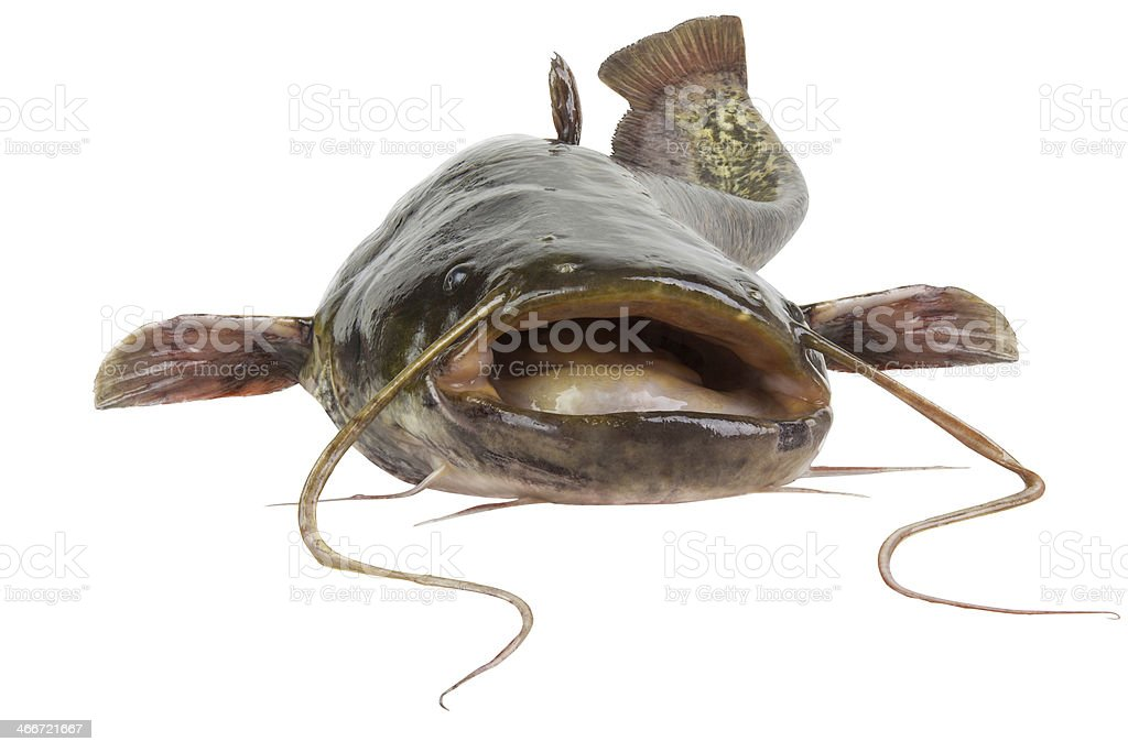 A dead River catfish after it was caught stock photo