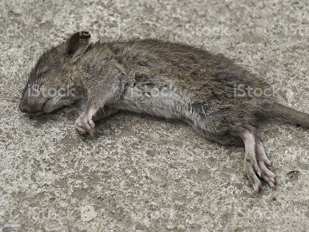 Dead rodent closeup royalty-free stock photo