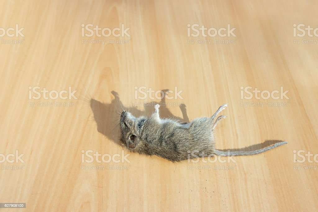 Dead rodent on floor in apartment house. stock photo