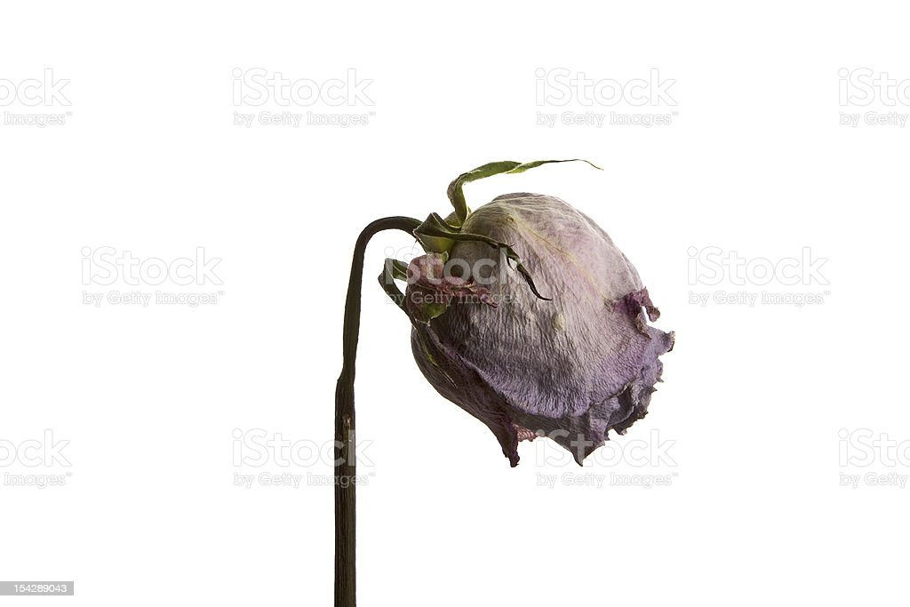 Dead Rose royalty-free stock photo
