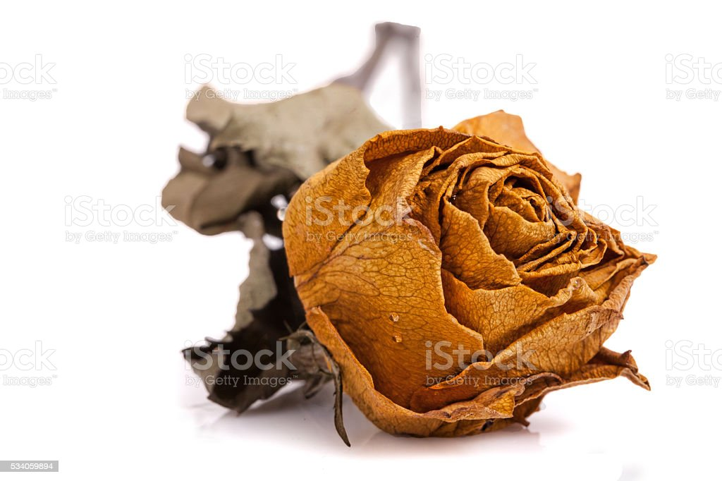 Dead Rose stock photo