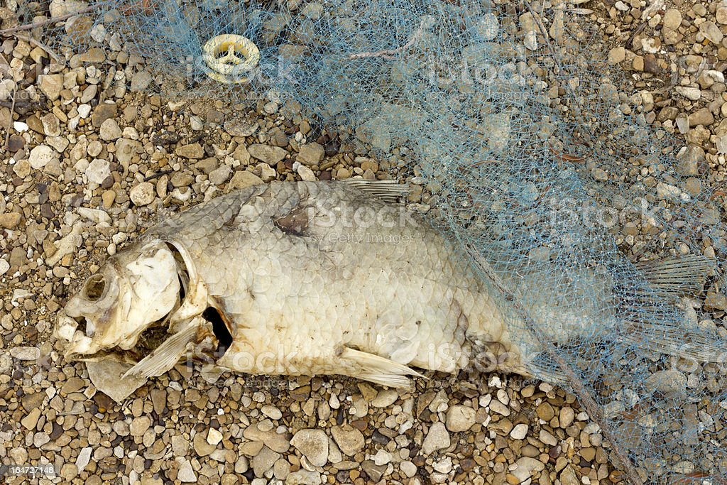 Dead Rotten Fish Pollution royalty-free stock photo