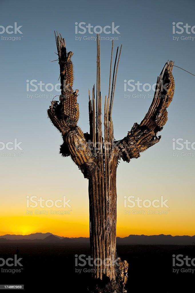 Dead Saguaro at Sunset royalty-free stock photo