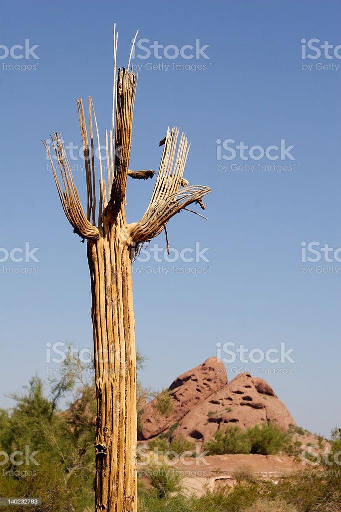 Dead Saguaro Cactus stock photo