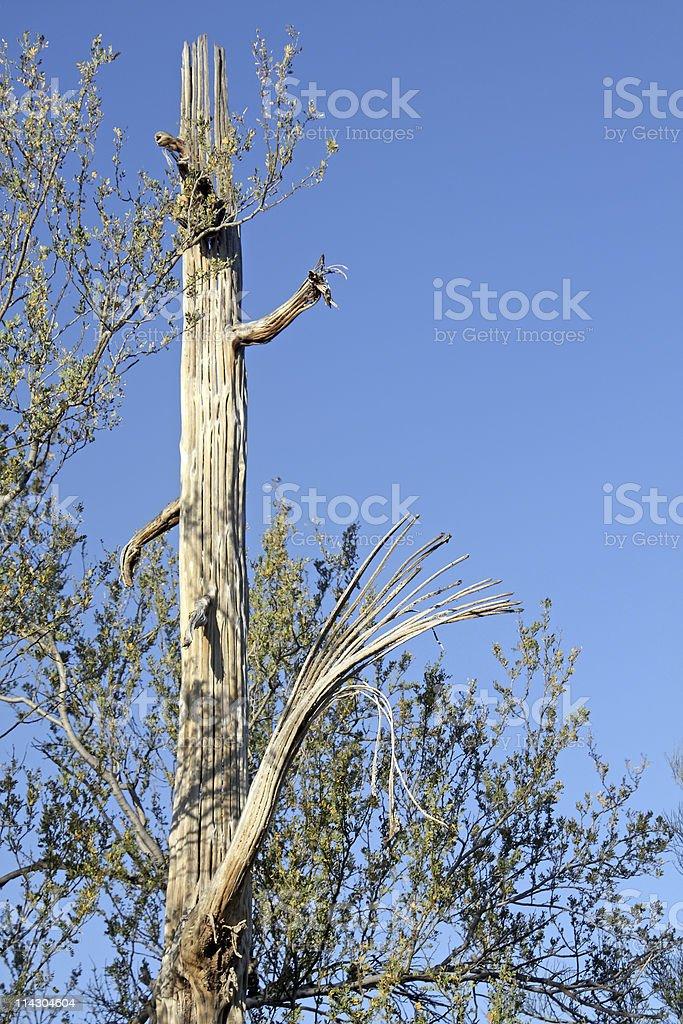 Dead Saguaro Cactus Ribs stock photo