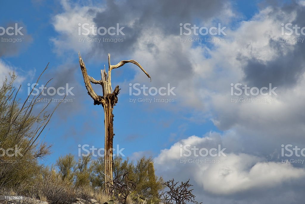 Dead Saguaro royalty-free stock photo