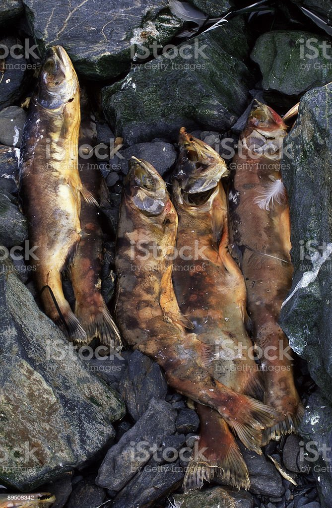 Dead salmon royalty-free stock photo