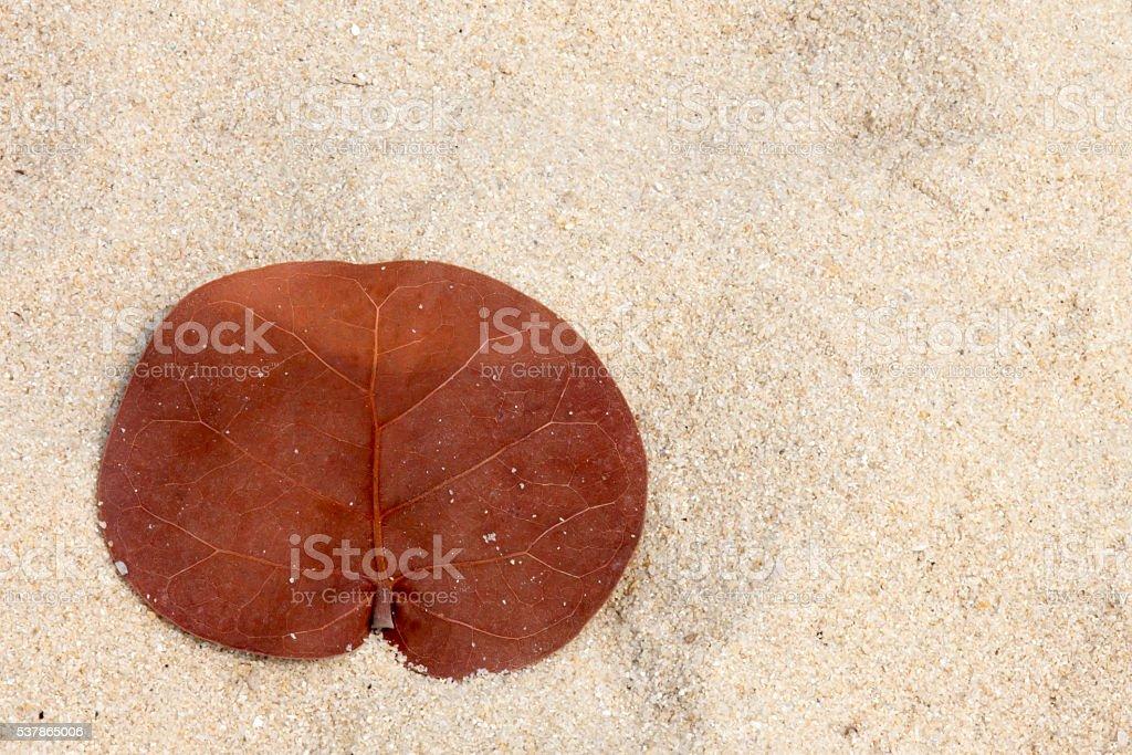 Dead sea grape leaf in the sand in Belize stock photo