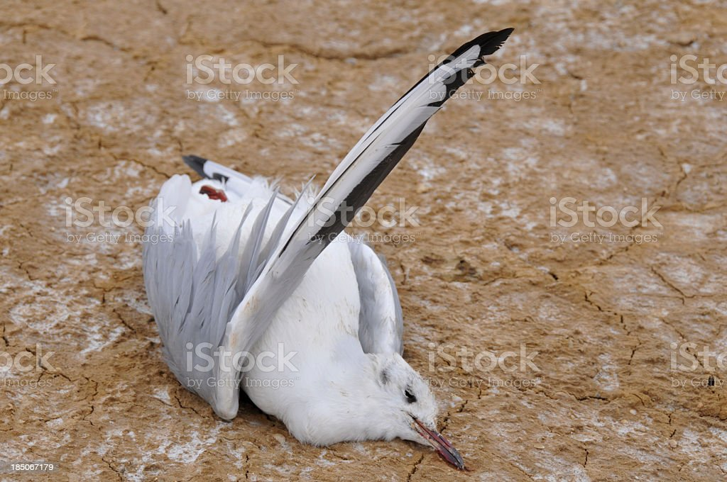 Dead seagull lying on dry mudfield stock photo