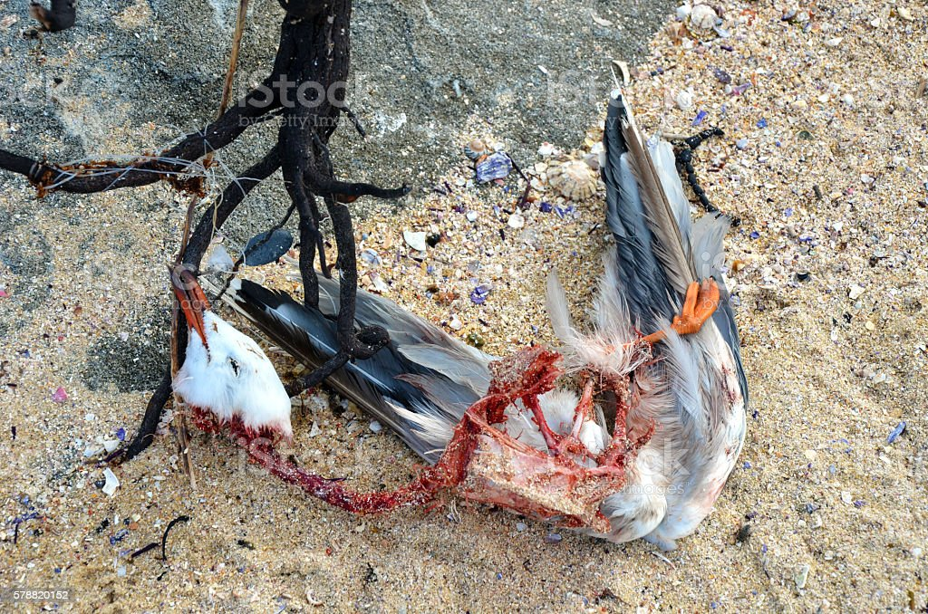 Dead seagull tangled in seaweed and fishing line stock photo