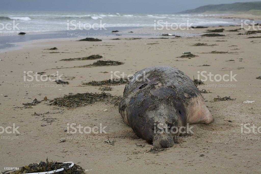 dead seal on beach. royalty-free stock photo