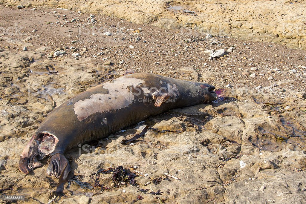 Dead Seal stock photo