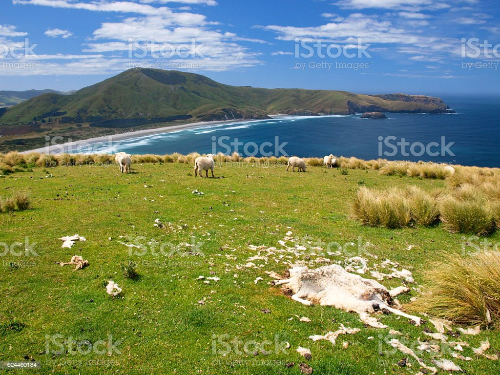 Dead sheep stock photo