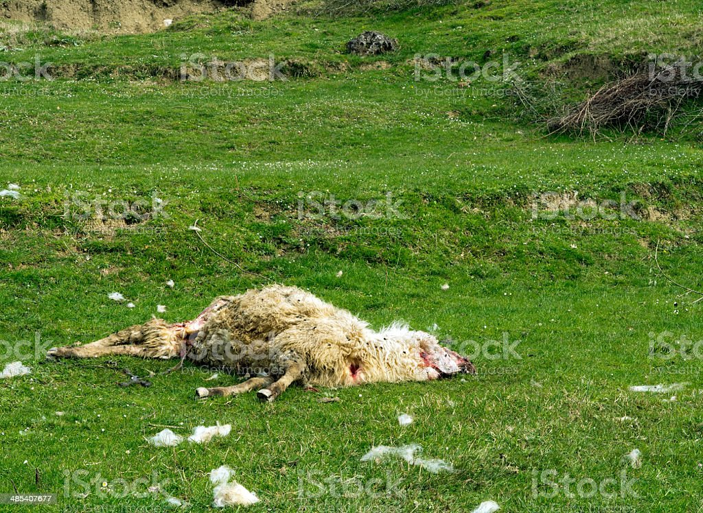 Dead sheep - savaged by dogs or wolves. Agriculture problem. stock photo