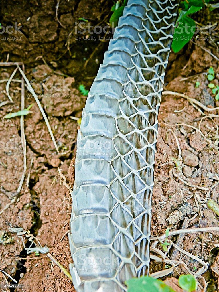 Dead Skin Of Dendrelaphis tristis stock photo