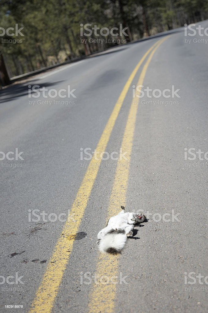 Dead squirrel in the road long view stock photo