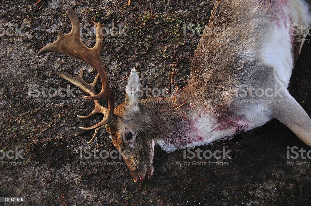Dead stag on muddy ground stock photo