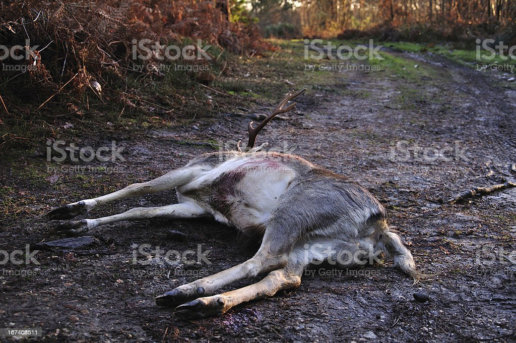 Dead stag on muddy track royalty-free stock photo