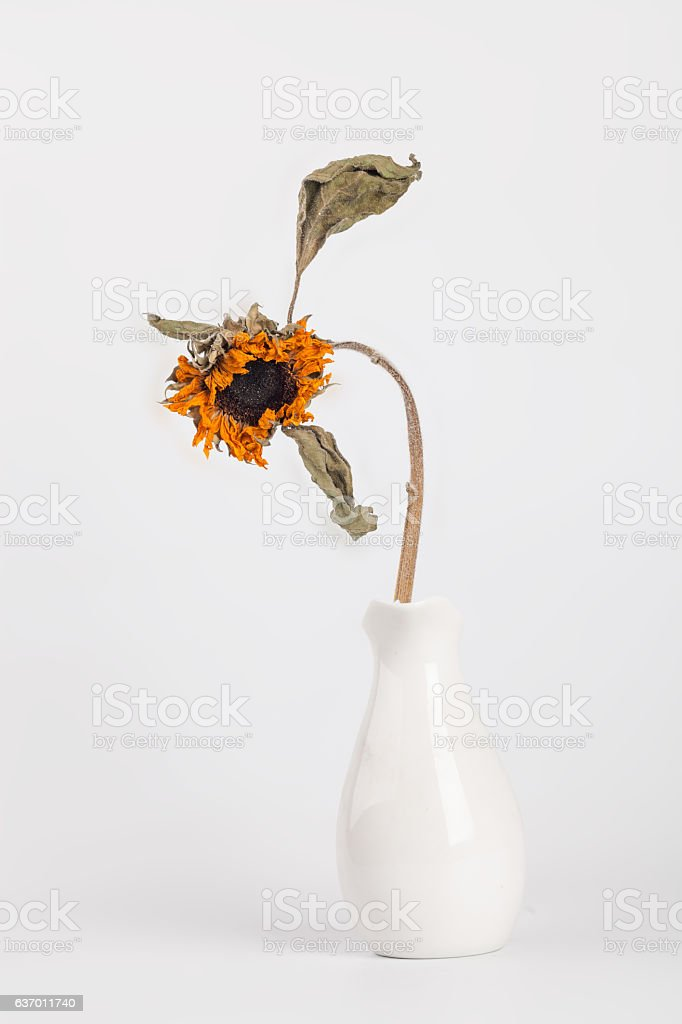 dead  sunflower studio shot with white background stock photo