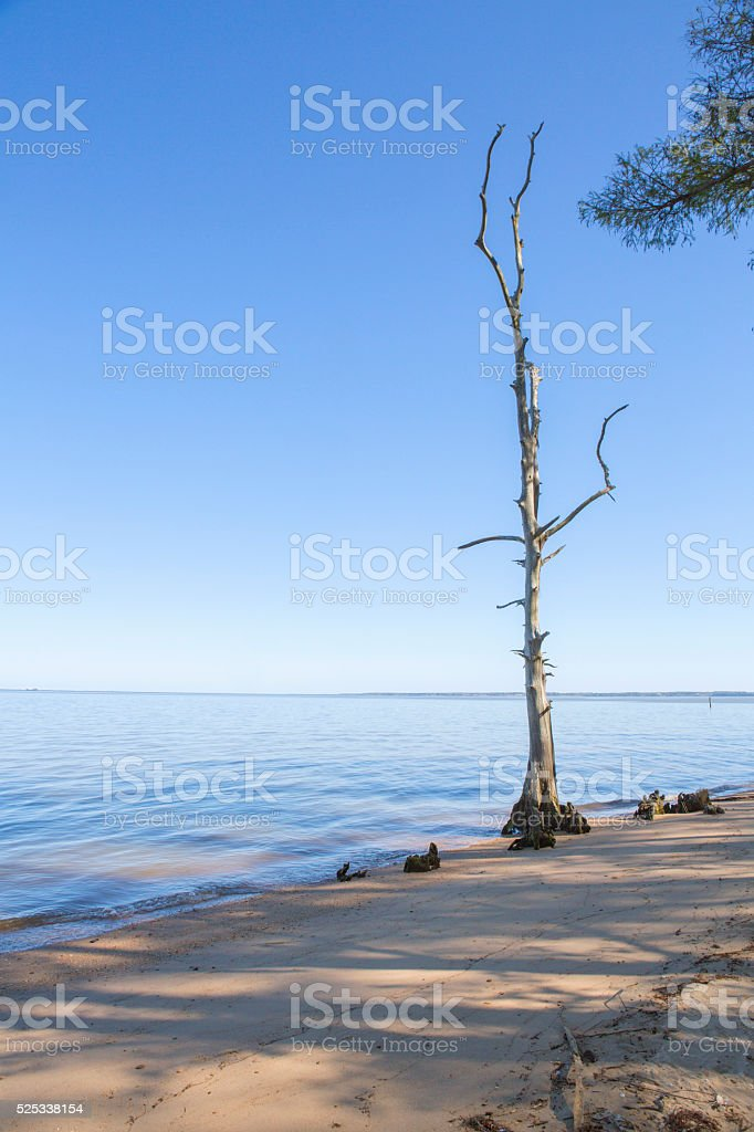 Dead Tree at shore of calm beach stock photo