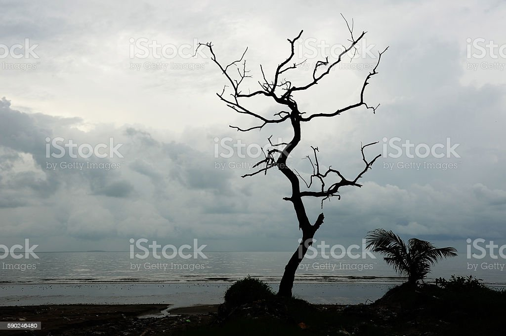 Dead tree by the sea  (Silhouette) stock photo