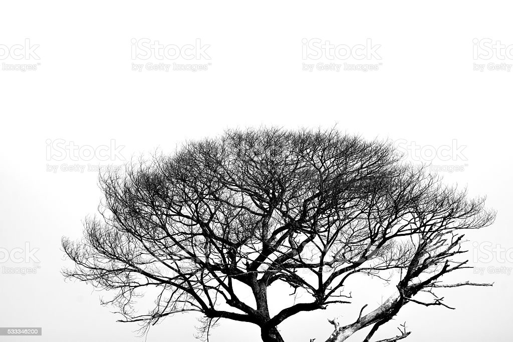 Dead tree in black and white background royalty-free stock photo
