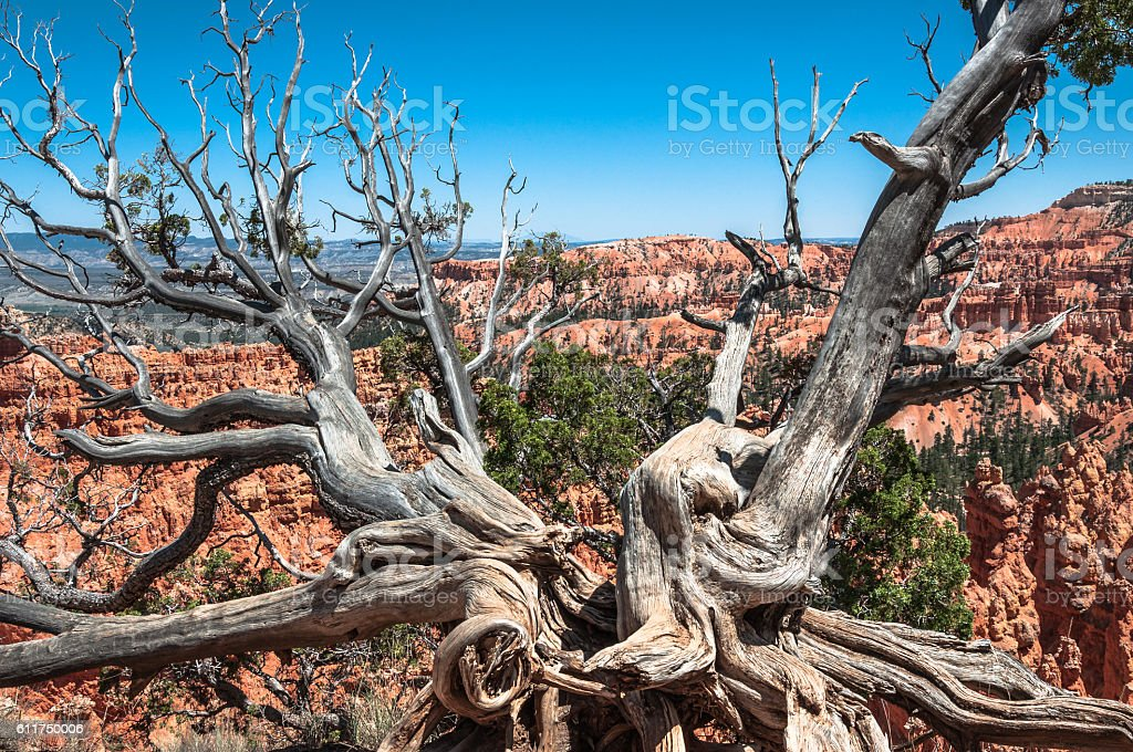 Dead tree in Bryce Canyon National Park, Utah stock photo