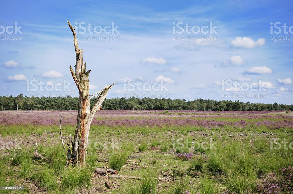 Dead tree in heather landscape royalty-free stock photo