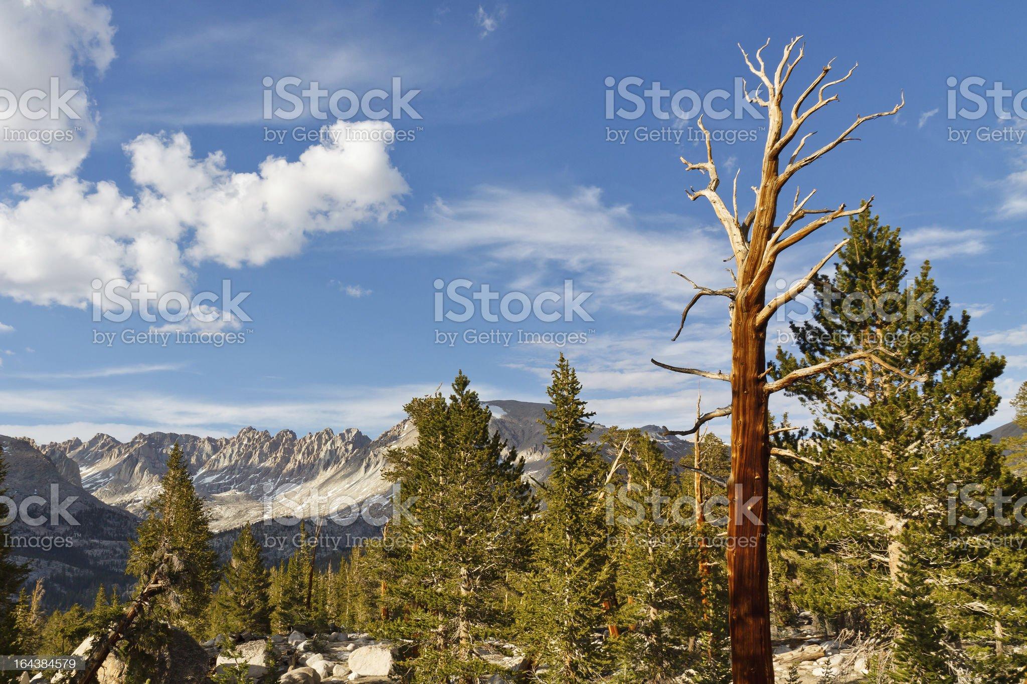 Dead Tree in High Sierra royalty-free stock photo