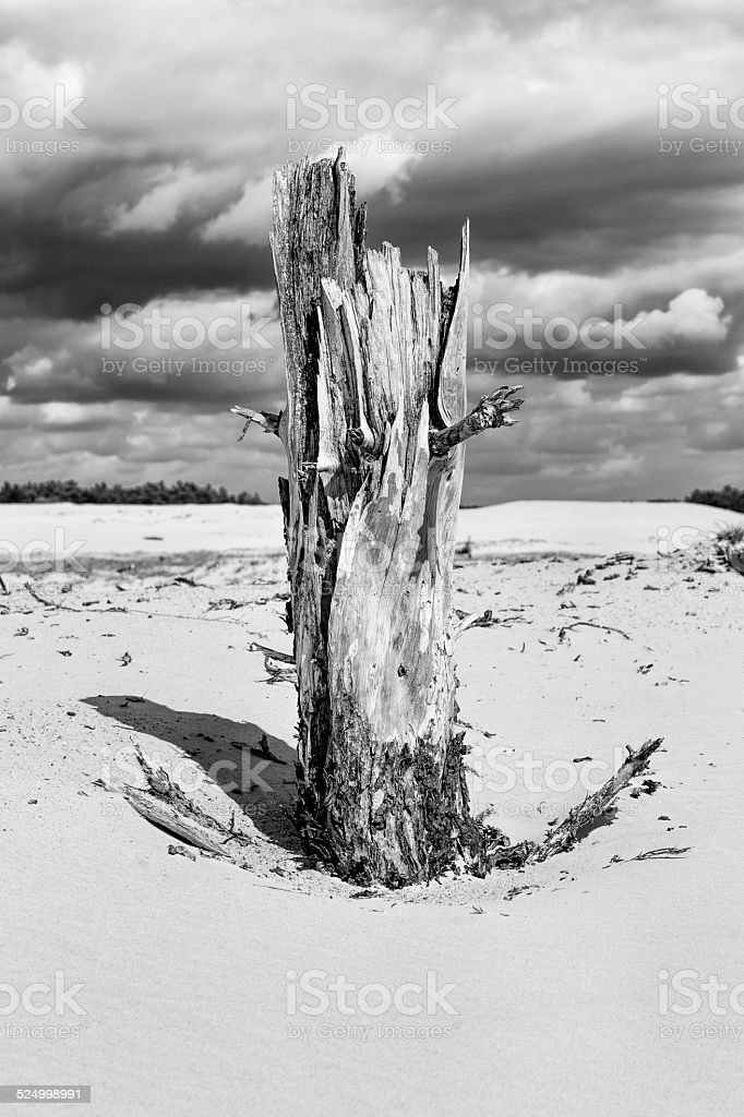 Dead Tree in Hoge Veluwe National Park  (black and white) stock photo