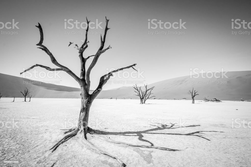 Dead tree in Sossusvlei in black and white. stock photo