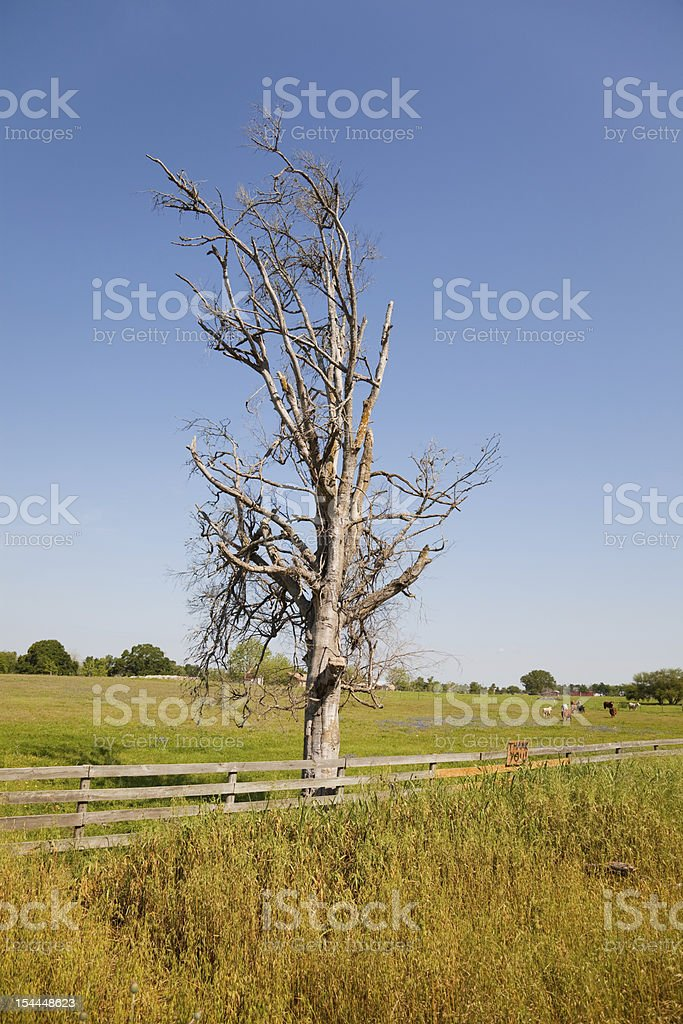 Dead tree in Texas stock photo