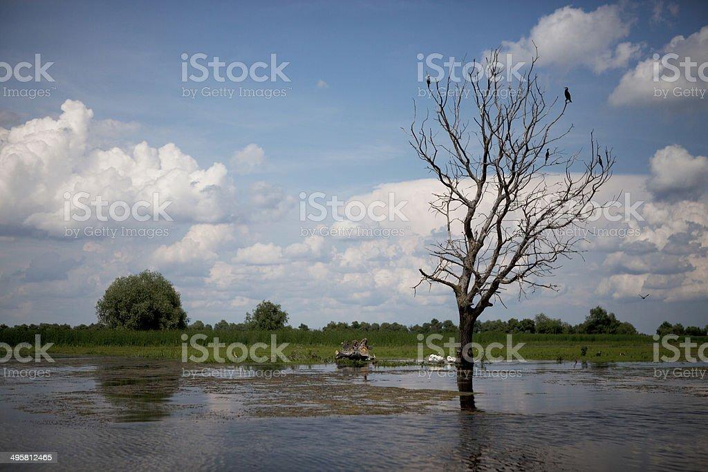 Dead tree in water with cormorants stock photo