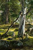 Dead tree in wilderness