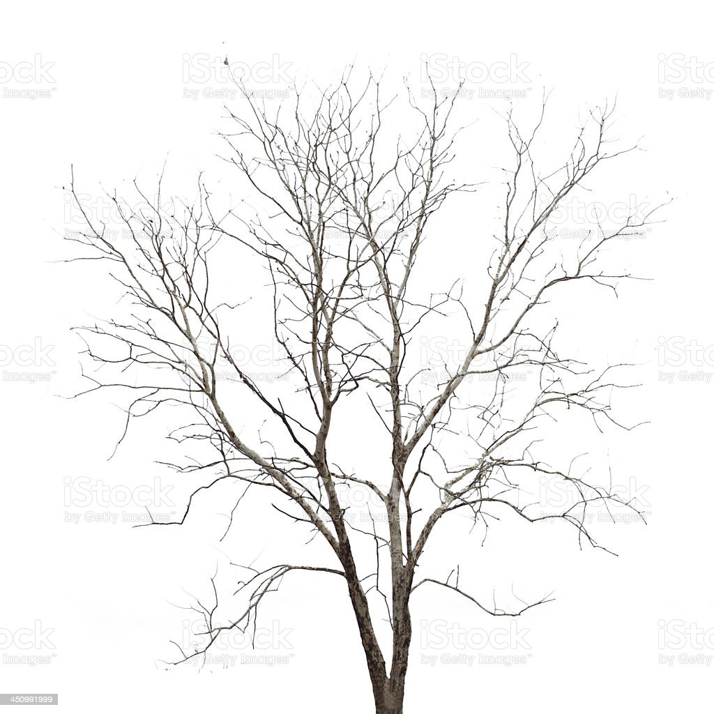 Dead tree isolated on white background royalty-free stock photo