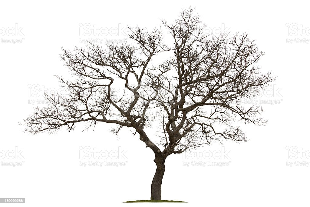 Dead tree isolated with white background stock photo